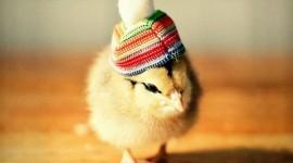 รวมภาพลูกเจี๊ยบใส่หมวกแบบ Chicks in Hats