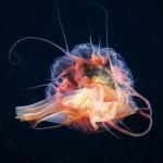 Jellyfish 9